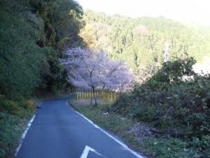 チョット入り込んだ路地に桜発見!
